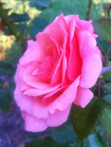 This rose has a true, sweet fragrance. *